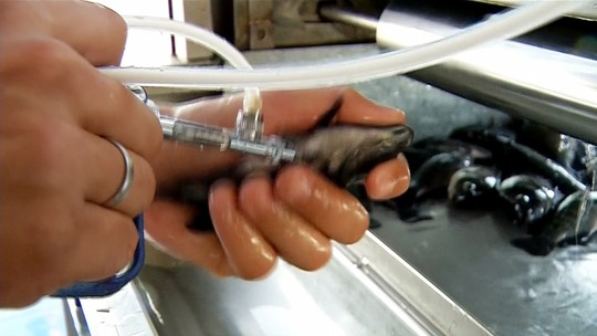Criadores de tilápias vacinam peixes para reduzir mortalidade