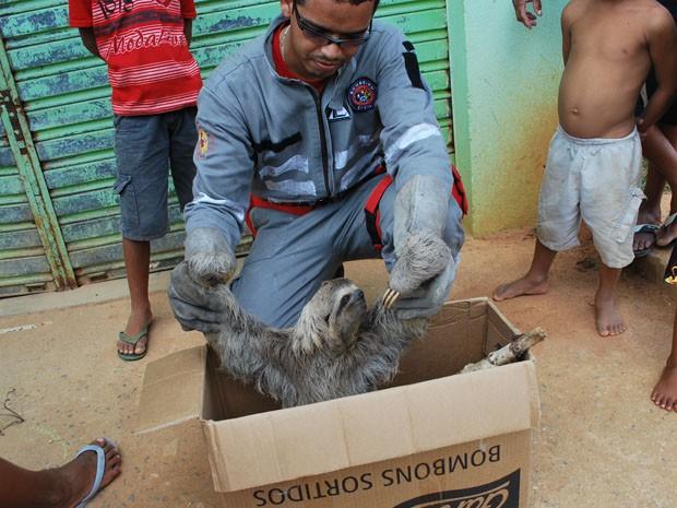 Moradores encontraram preguiça (Foto: Danuse Cunha/Itamaraju Notícias / )