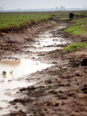 Animais andam em manadas e formam valas (Foto: Sedam/ Divulgação)