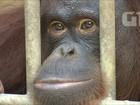 Tailândia devolve à Indonésia orangotangos traficados ilegalmente