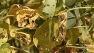 Focos de ferrugem asiática cresce 84% nas lavouras de soja