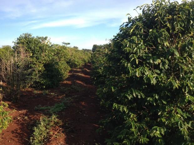 Maior parte da produção de café do Paraná está concentrada no norte do estado (Foto: Vinicius Frigeri/RPC)