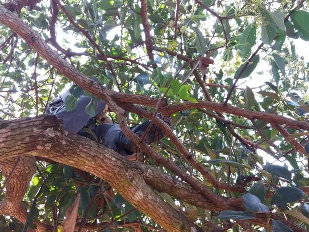 Bombeiros fizeram resgate do tamanduá em cima da árvore  (Foto: Corpo de Bombeiros/ Divulgação)