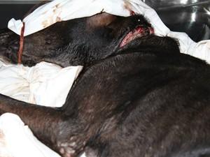O ferimento no pescoço da cadela atraia larvas (Foto: Fernanda Póvoa/Arquivo Pessoal)