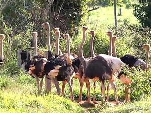 Veja como é feita a criação de avestruz em Rondônia (Foto: Reprodução/TV Amazonas)