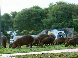 Cerca de 20 capivaras visitam parque todo dia (Foto: Reprodução/ TV TEM)