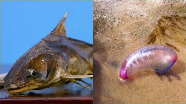 Bagres e águas-vivas podem ferir banhistas nas praias (Foto: Reprodução/TV Tribuna)
