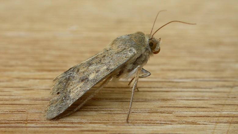 praga-helicoverpa-punctigera-soja-milho-algodao-mariposa (Foto: Donald Hobern/CCommons)