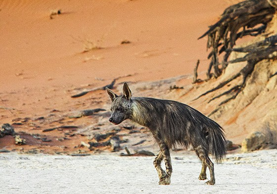 Uma hiena-marrom atravessa o charco morto de Deadvlei; ao fundo, galhos de árvores que secaram há seis séculos  (Foto: © Haroldo Castro/ÉPOCA)