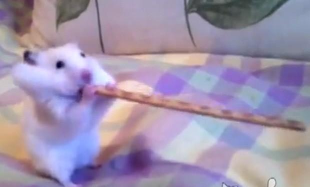 Roedor foi gravado devorando um palito salgado com pelo menos o dobro de seu comprimento (Foto: Reprodução)