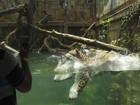 Jaguar dá mergulho espetacular para capturar comida em zoo da Indonésia