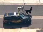 Polícia faz operação para capturar lhamas fugitivas nos EUA