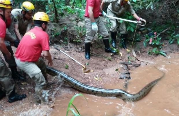 Sucuri de 6 metros é capturada em mata perto de condomínio, em Goiás (Foto: Divulgação/Corpo de Bombeiros)