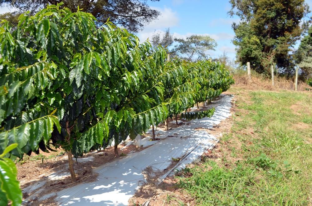 Uso de plástico próprio reduz evaporação da água e ajuda planta a utilizar melhor a umidade do solo (Foto: Lucas Soares)