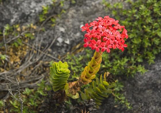 Uma crassula vermelha (Crassula coccinea) em floração no topo da Montanha da Mesa (Foto: © Haroldo Castro/Época)