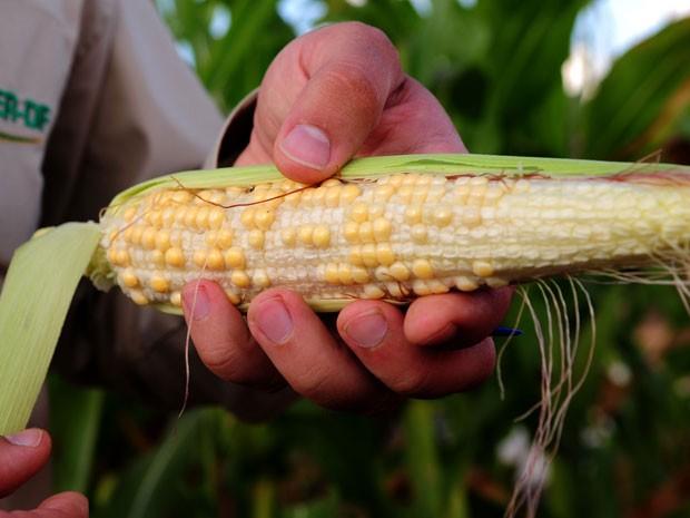 Técnico da Emater mostra milho com 'vãos' em Brasília; governo estima prejuízo de R$ 116 milhões na produção do grão após estiagem (Foto: Pedro Ventura/Agência Brasília)