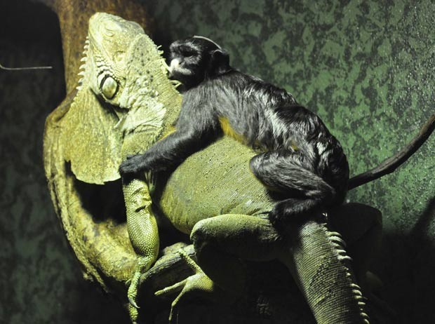 No zoológico Ouwehands em Rhenen, na Holanda, um sagui fez amizade com iguana. (Foto: Rob Doolaard/Reuters)