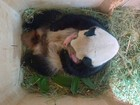 Depois de uma semana, câmera de zoo revela que panda teve gêmeos