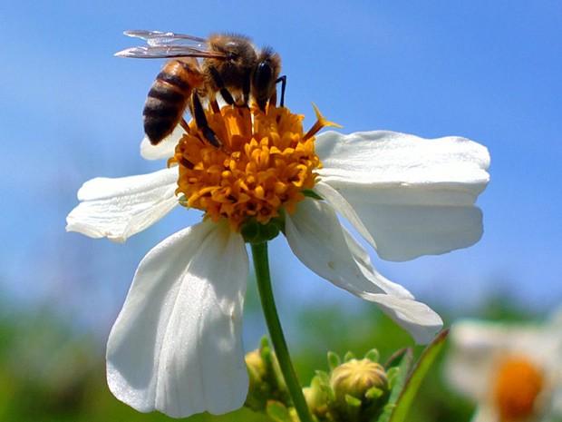 """Eduardo Pioli Alberti fez a foto no Parque Tingui, em Curitiba. Ele estava somente testando a câmera de seu celular.  """"A abelha ficou parada porque tinha acabado de bater no meu óculos e cair na flor"""", afirma  (Foto: Eduardo Pioli Alberti/VC no G1)"""