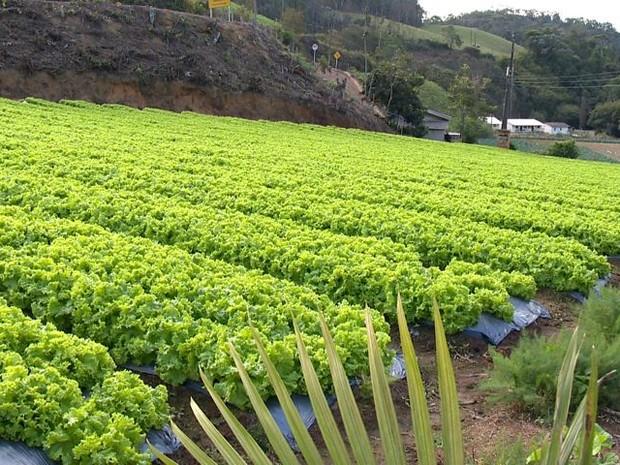 Alface é cultiva em toda a propriedade da família Douro (Foto: Reprodução/ TV Gazeta)