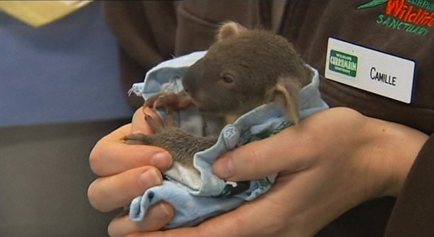 Declínio em população de coalas preocupa Austrália (Foto: BBC)