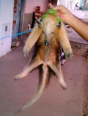 Segundo o Ibamn, tamanduá-mirim está ameaçado de extinsão  (Foto: Helder Medeiros)