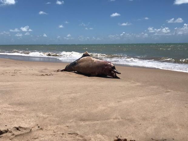 Banhistas viram o golfinho na areia da praia do Bessa por volta das 7h desta segunda-feira (Foto: Walter Paparazzo/G1)