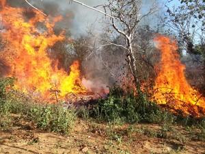 Pés de maconha são erradicados no Sertão (Foto: Divulgação/ 7º CIPM)