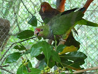 Aves passam por diversos acompanhamentos em cativeiro (Foto: Vanessa Tavares Kanaan/Espaço Silvestre)
