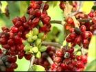No ES, produção e qualidade do café conilon animam os produtores