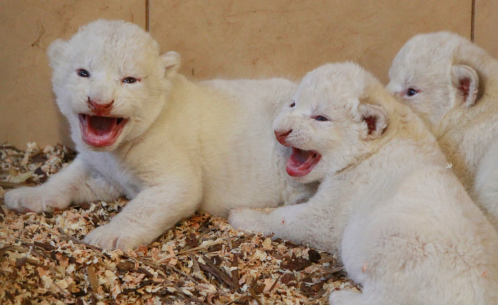 lioness and 3 cubs