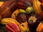 Fazenda muda manejo para produzir cacau de qualidade gourmet na BA