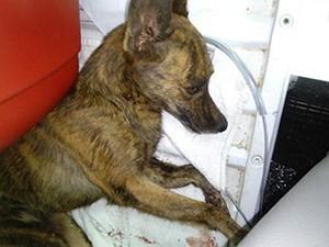 Cadela vira-lata caiu em calçada e sobreviveu após cair de 10 metros (Foto: Michelle Scopel/Arquivo Pessoal)