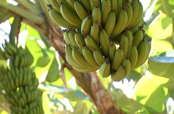 Reportagem mostra como funcionam as plantações irrigadas de banana (Foto: Reprodução/TV TEM)