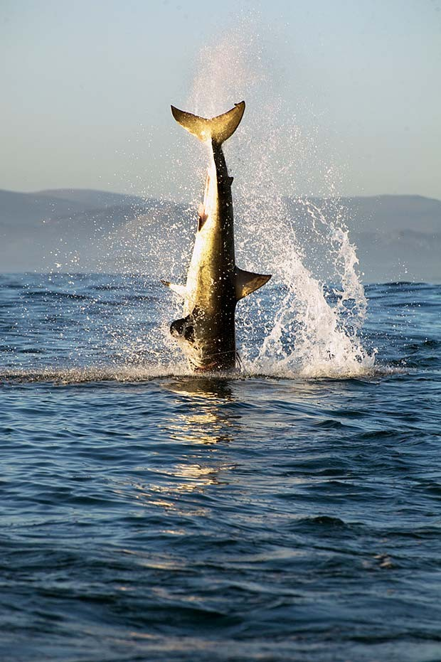 Tubarão-branco é flagrado em ação predatória na África do Sul pelo fotógrafo brasileiro Daniel Botelho (Foto: Daniel Botelho)