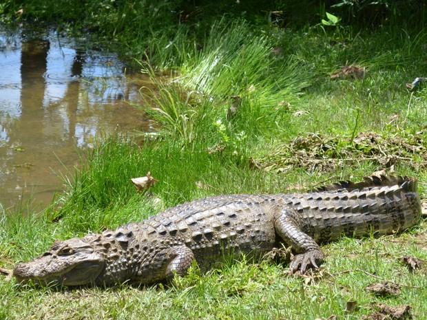 Jacaré vive há cerca de 1 ano em lagoa na área urbana de Piracicaba (Foto: Laila Braghero/G1)