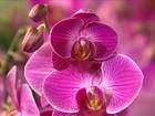 Novidades tecnológicas ajudam a baratear e popularizar as orquídeas