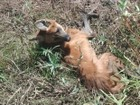 Lobo-guará é localizado com a pata quebrada e preso em armadilha