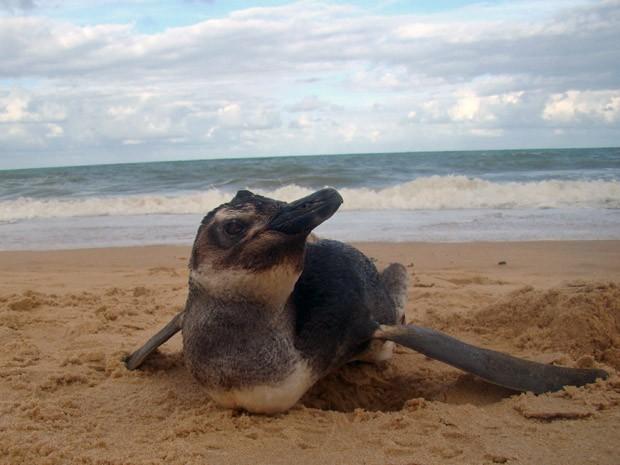 Pinguim na praia de Piedade, em Jaboatão dos Guararapes. (Foto: Adriano Artoni / Arquivo pessoal)