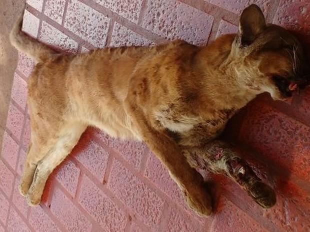 Onça-parda morre atropelada na BR-262 em Campo Grande MS (Foto: PMA/Divulgação)