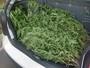 Polícia encontra pés de maconha em área de preservação em Hortolândia
