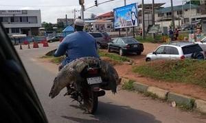 Lista reúne porco, carneiro e até crocodilo transportados em motos