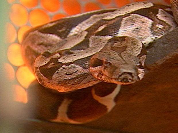 Segundo a equipe do Corpo de Bombeiros que capturou a cobra, ela estava circulando pelos sítios. O animal foi levado ao Ibama, onde vai receber tratamento adequado (Foto: Reprodução/TV Paraíba)
