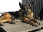 Cão policial se aposenta e recebe homenagem online na Suécia