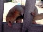 Tamanduá-anão é resgatado após ser visto por moradores em Boa Vista