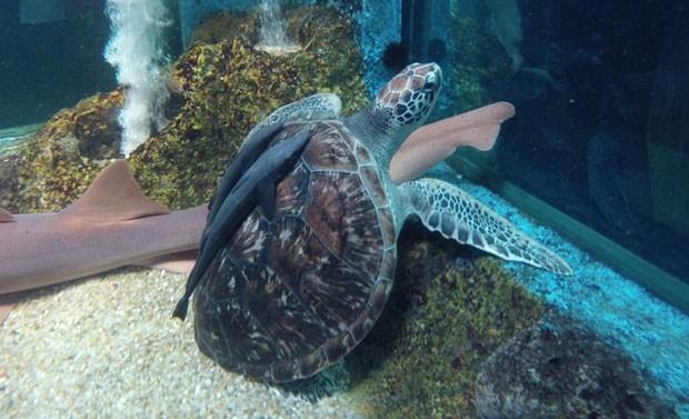 Tartaruga marinha dá carona às rêmoras e nada sossegada entre os tubarão  (Foto: Flávio Marcato)