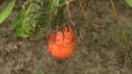 Saiba mais sobre o cultivo do cajú