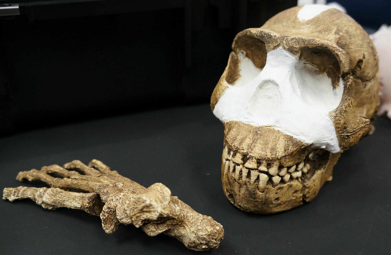 um crânio e uma mão do H. naledi (Foto: Reprodução)