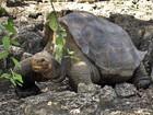 Pesquisadores tentam fazer tartaruga gigante e rara acasalar no Equador