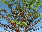 Produtores de café de MG avaliam os prejuízos causados pela estiagem